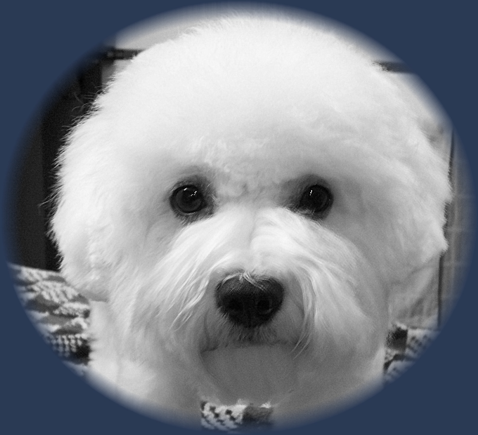 Troubles Bichon with Champion bloodlines