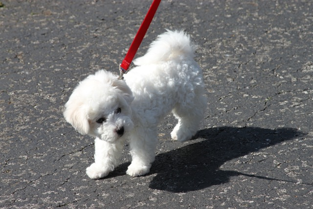Champion sired Bichon Frise puppy