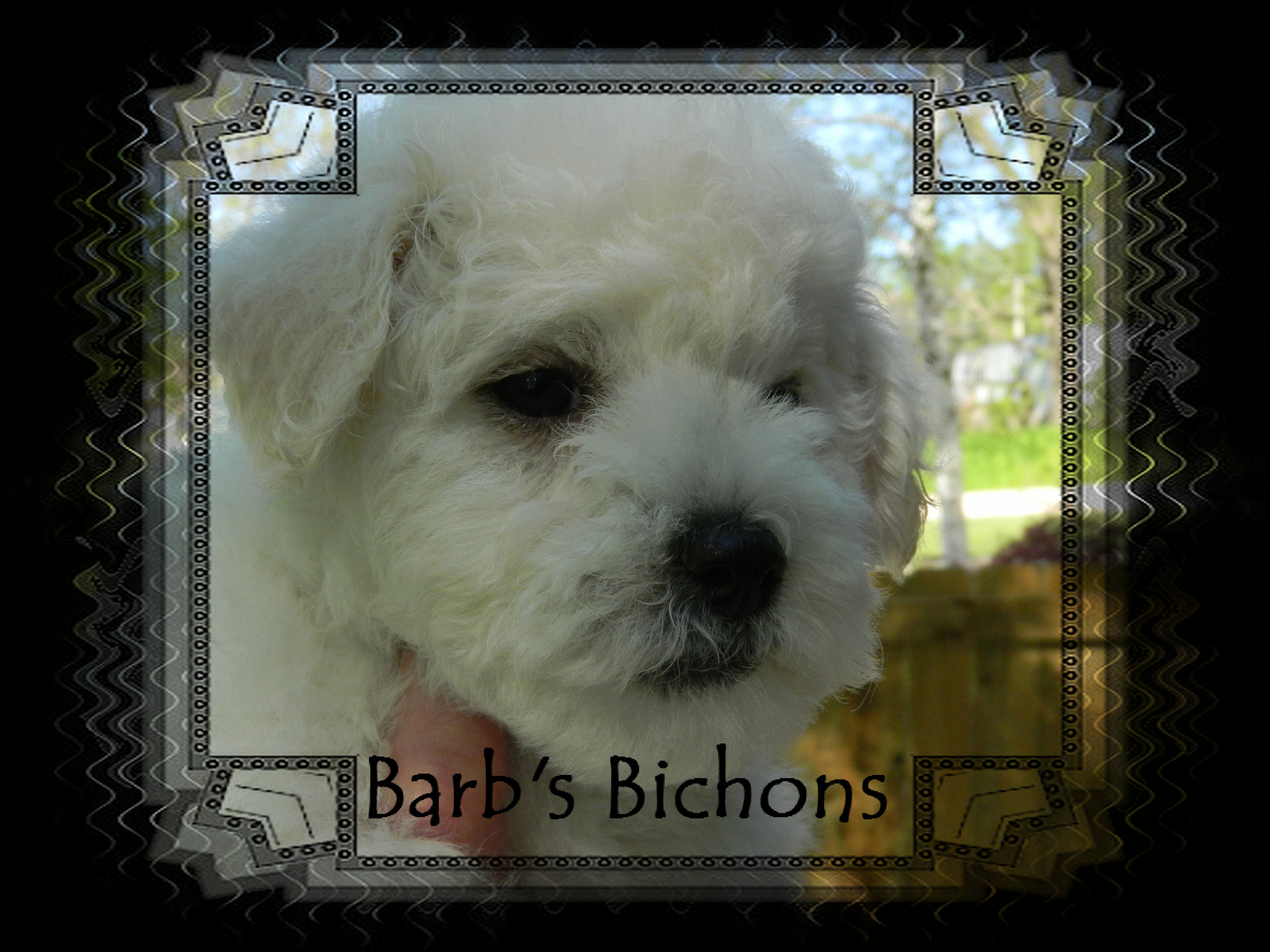Champion sired female Bichon Frise puppy
