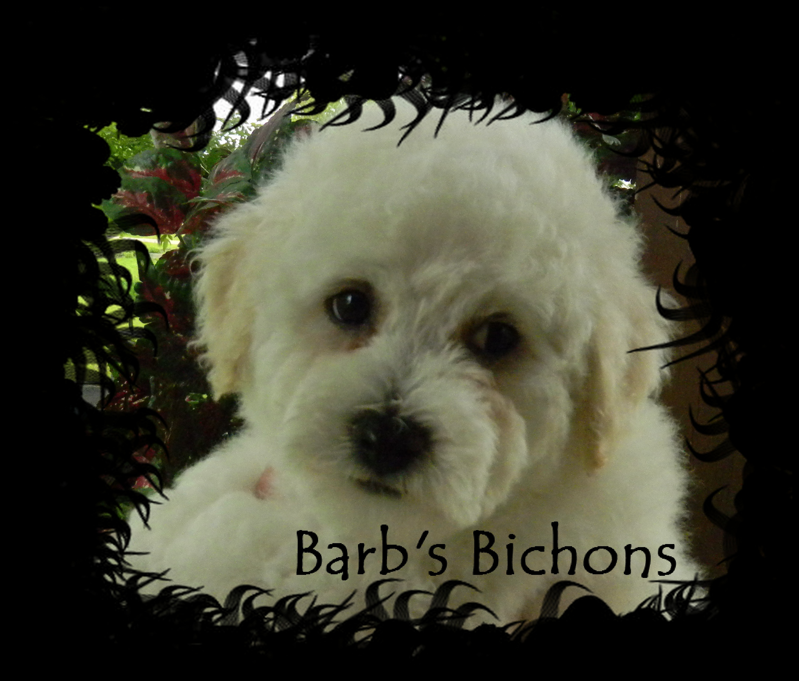 Bichon Frise puppies in Illinois