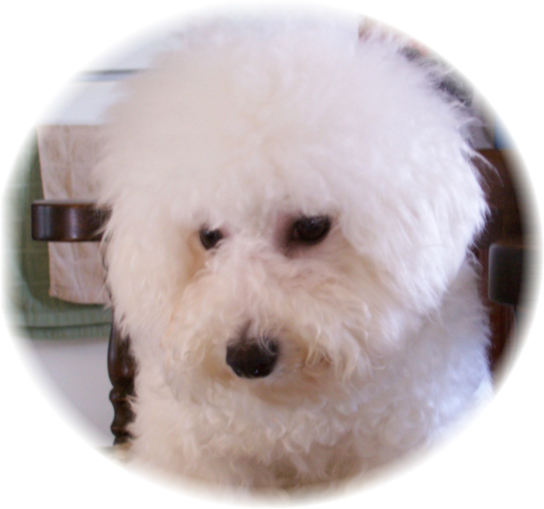 Champion sired Bichon Frise female