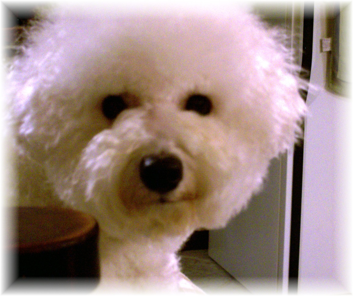 Champion sired Bichon