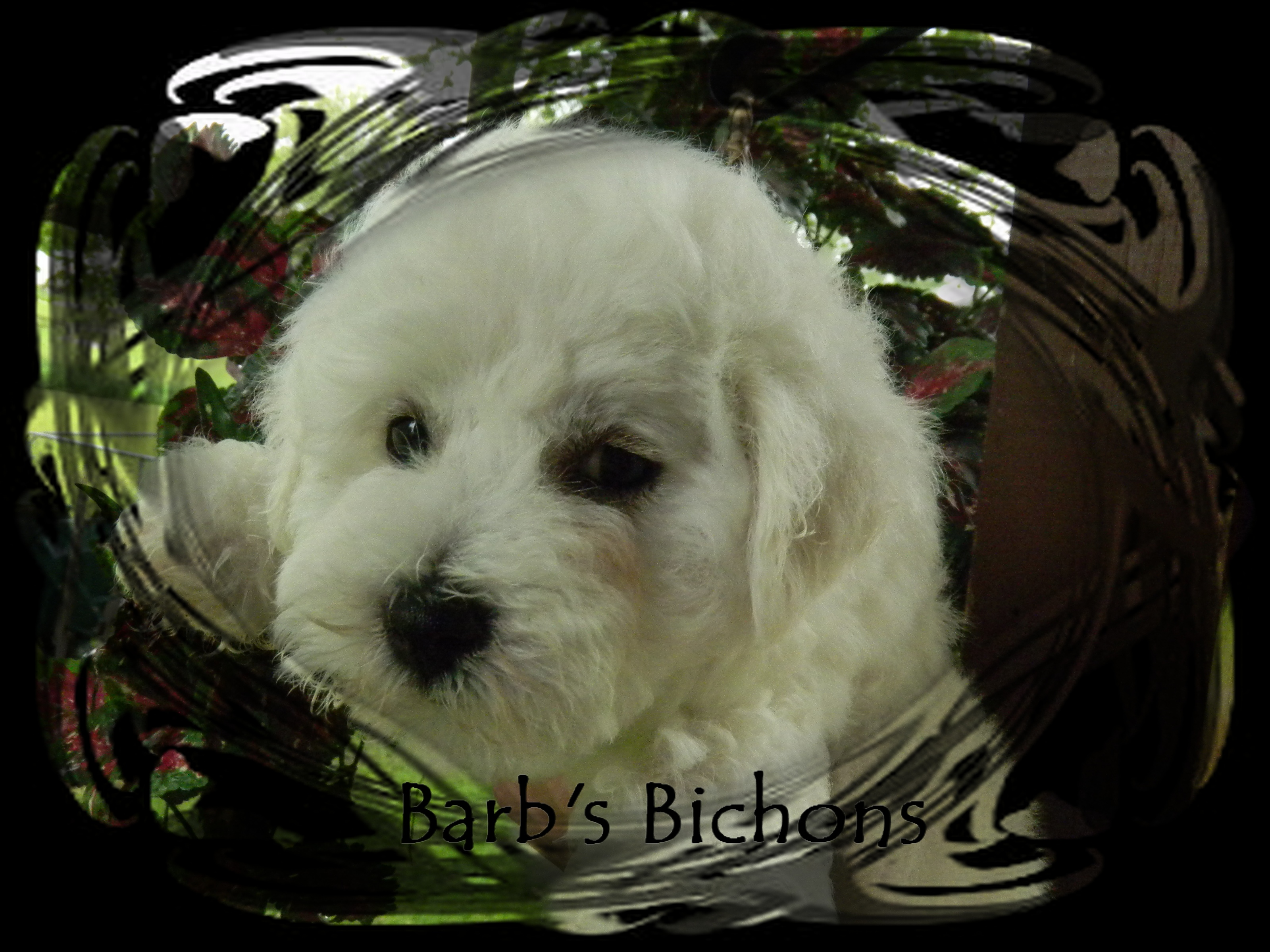 Bichon Frise puppy Champion bloodlines